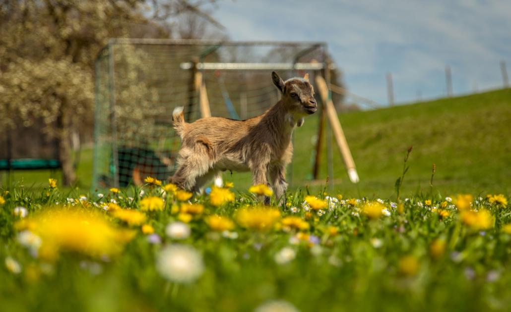Kleine Ziege vom Waldhauser Hof nebenan