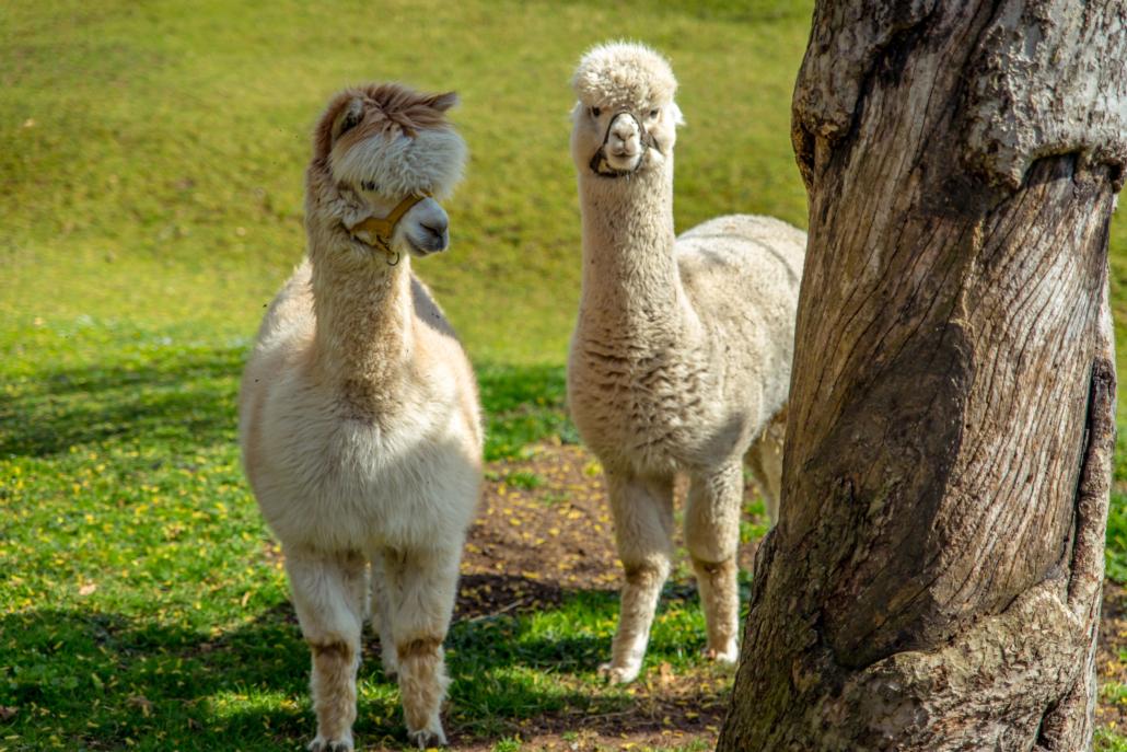 Kare und Seppi, die Alpacas vom Waldhauser Hof